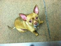 Chihuahua - Nina-very Friendly - Small - Young - Female