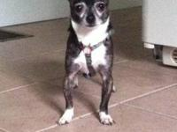 Chihuahua - Ollie - Small - Adult - Male - Dog Ollie is