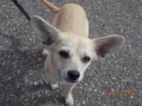 Chihuahua - Pongo - Small - Young - Male - Dog This