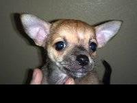 purebred applehead chihuahua pupies for sale 3 males