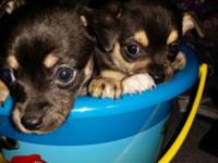 2 Females Chihuahua Puppies For Sale ! -very playful