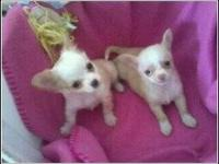 9week old ckc Chihuahua pup, hes up tp date with