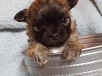 Adorable long coat apple head sable Chihuahua male