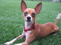 Chihuahua - Red - Small - Adult - Male - Dog