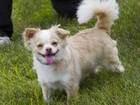 Chihuahua - Rex - Small - Adult - Male - Dog Rex is a
