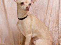 Chihuahua - Rex - Small - Adult - Male - Dog SOME WHAT