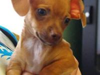 Chihuahua - Rizzo - Small - Baby - Female - Dog (For