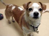 Chihuahua - Rocket Dog - Small - Adult - Male - Dog I