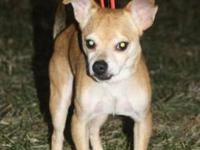 Chihuahua - Salsa - Small - Adult - Male - Dog Salsa is