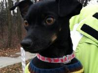 Chihuahua - Sammy (in Foster Care) - Small - Adult -