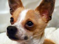 Chihuahua - Sly - Small - Adult - Male - Dog