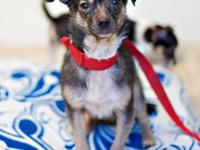 Chihuahua - Spunky Ny - Small - Young - Male - Dog
