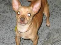 Chihuahua - Starr-video! - Small - Adult - Male - Dog
