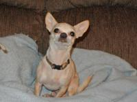 Chihuahua - Steve - Small - Adult - Male - Dog Steve is