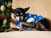 Chihuahua - Stringer - Small - Adult - Male - Dog