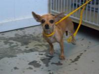 Chihuahua - Trenda - Small - Adult - Female - Dog