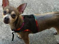 Chihuahua - Willie - Small - Young - Male - Dog Willie