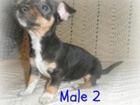 Chihuahua X Terrier Puppies, additionally known as TACO