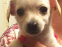 Chihuahua longhair puppies. Blonde males with white