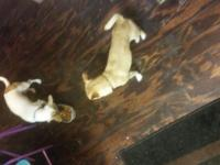 I have 2 chihuahuas males for sale very cute and