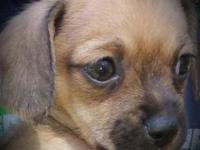 Cute loving chihuahuas available for adoption, one male
