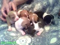 Six pups born May 29th-3 females and 3 males. Available