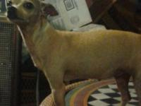 Chihuahuas For Adoption-Male and Female. They are about