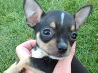 Breeding happy healthy Chihuahua puppies for over 25
