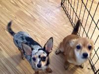 Chihuahuas need homes We have a couple of chihuahuas