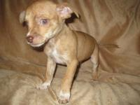 These adorable chihuahuas are sweet tempered and