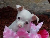 We have some beautiful chihuahuas available. We have