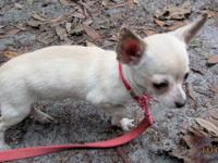 i have a chihuhua mixed 5 months old. has all 3 sets of