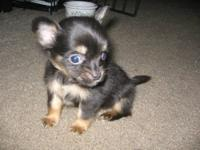 I have four baby chihuhuas they have beautiful apple