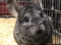 We have a standard grey female chinchilla that is