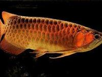 Proudly introducing the Arowana Chili Red, super red,