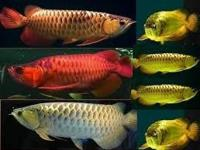 Animal Type: Fishes Breed: Arowanas Quality and healthy