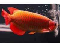 Quality and healthy +A Grade Arowana's for sale