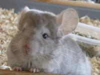 Chinchilla - 2 Chinchillas Females - Small - Adult -