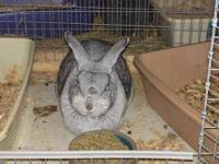 Adult female chinchilla to pet-only (non breeding)