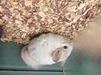 We have just two pairs of Chinchilla that we breed they