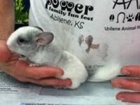 Wonderful baby chinchilla Mom is a Black Velvet Dad is