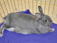 Chinchilla - Bethany - Medium - Young - Female -
