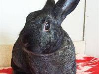 Chinchilla - Bradley - Medium - Adult - Male - Rabbit