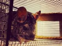 Chinchilla - Charlotte & Mya - Small - Adult - Female