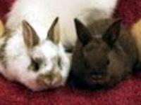 Chinchilla - Cheddar - Medium - Baby - Male - Rabbit