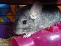 Chinchilla - Digsby - Medium - Adult - Male - Small &