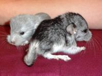 We have a pair of breeding chinchillas, one is Mosaic