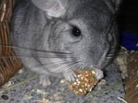 I have a loving gray chinchilla that I don't have the