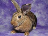 Chinchilla - Harper - Medium - Young - Female - Rabbit