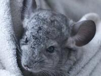 Chinchilla - Jerry - Medium - Young - Male - Small &